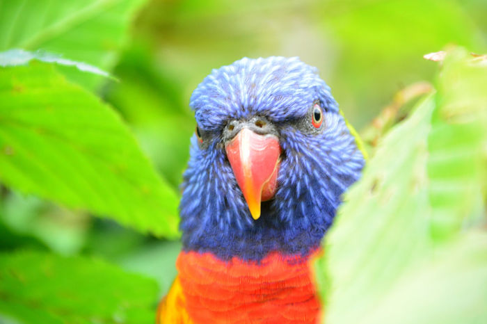 Bird Multi Colored Animal Body Part Beak Parrot Feather  Animal Head  Animal Close-up Looking At Camera One Animal Red Portrait Blue Nature Defocused Outdoors Rainbow Lorikeet Day No People