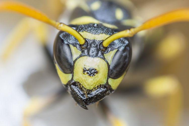 Vespula vulgaris [Meopta Anaret 80mm f/4.5] Animal Themes Yellow Close-up One Animal Animal Animal Wildlife Animals In The Wild Focus On Foreground Insect Invertebrate Nature Beauty In Nature Outdoors Selective Focus Animal Body Part Flower Extreme Close-up Animal Head  Macro Wasp Vespula Vulgaris Animal Eyes Predator
