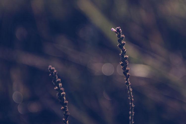 Close-Up Of Lavender Flower