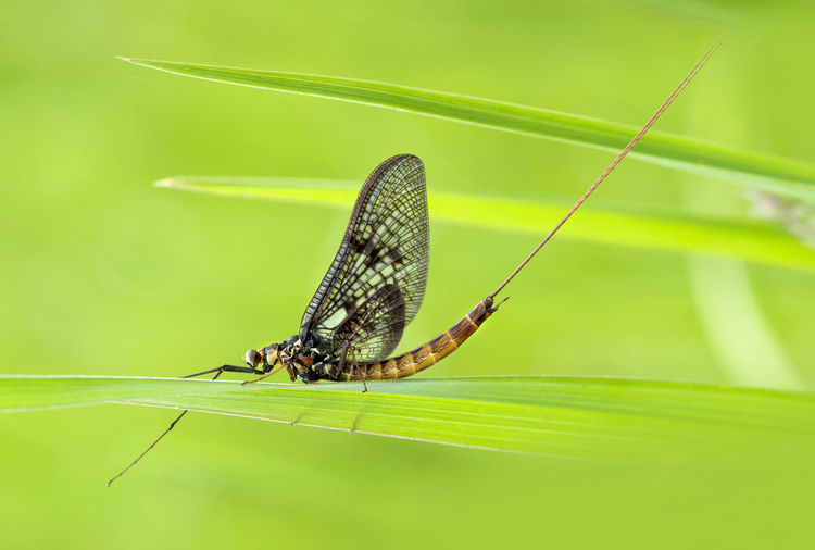 Mayfly Close-up Day Grass Insect May Fly Mayfly Nature No People Outdoors