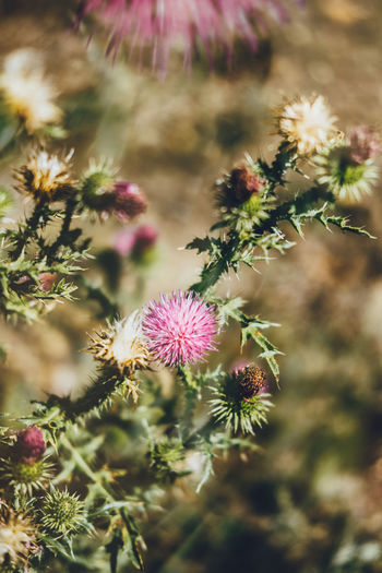 Double Exposure Beauty In Nature Blooming Close-up Day Flower Flower Head Focus On Foreground Fragility Freshness Growth Nature No People Outdoors Petal Pink Color Plant Thistle