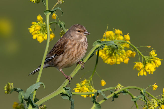 Linnet female in spring Carduelis Cannabina Haenfling Animal Themes Animal Wildlife Animals In The Wild Beauty In Nature Bird Day Flower Fragility Linnet Nature No People One Animal Outdoors Perching Plant Yellow
