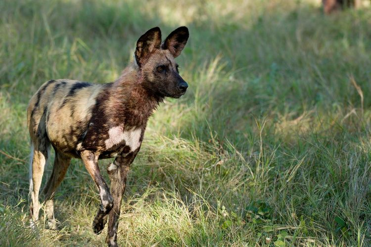 Animal Animal Themes Animal Wildlife Animals In The Wild Day Full Length Grass Mammal Nature No People One Animal Outdoors Painted Dog Portrait Wild Wild Dog Wild Dogs Wildlife Young Animal