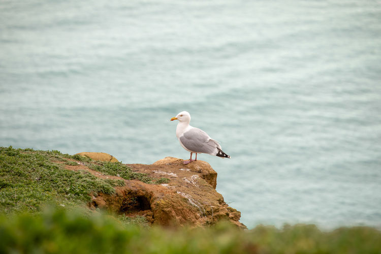 A large yellow beaked seagull perched on top of the edge of a golden rock seaside cliff. Animal Animal Themes Animal Wildlife Animals In The Wild Beauty In Nature Bird Day Nature No People One Animal Perching Rock Rock - Object Sea Seagull Selective Focus Solid Vertebrate Water