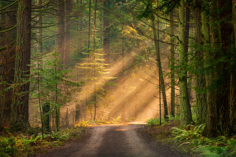 Foggy Morning in a Pacific Northwest Forest. Light rays break through the dense fir and cedar forest on Lummi Island, Washington. Light Nature Pacific Northwest  Beams Of Light Beauty In Nature Day Fog Foggy Foggy Morning Forest Green Color Landscape Nature No People Outdoors Rainforest Rays Road Scenics Single Lane Road The Way Forward Tranquil Scene Tranquility Tree WoodLand