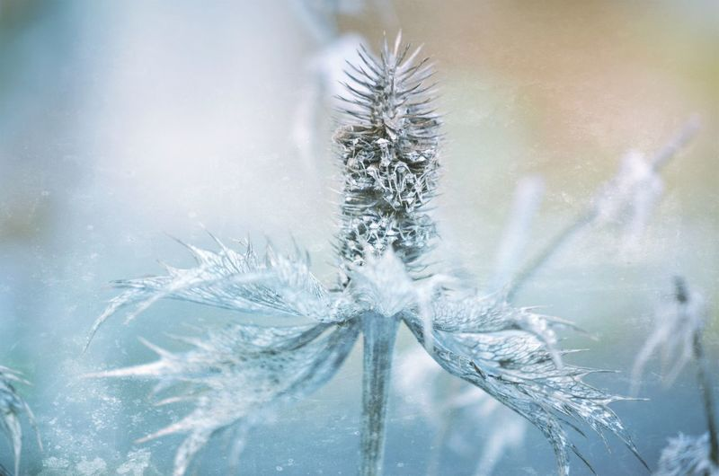 EyeEm Best Shots EyeEm Nature Lover EyeEm Gallery Beauty In Nature Bestoftheday Close-up Cold Temperature Day Distel Fragility Freshness Frozen Frozen Nature Growth Ice Macro Macro_collection Macro_flower Mextures Nature No People Outdoors Plant Snow Snowflake Winter