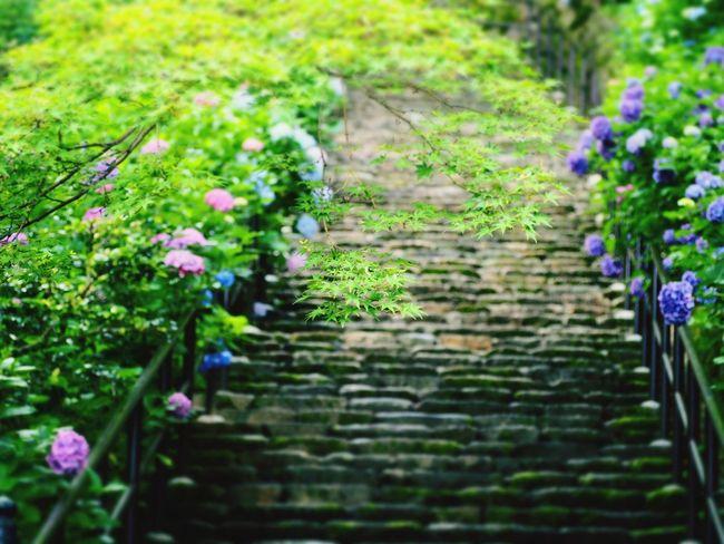 長谷寺 奈良 Nara Buddha 十一面観世音菩薩立像 紫陽花 あじさい Flower 梅雨 rRain