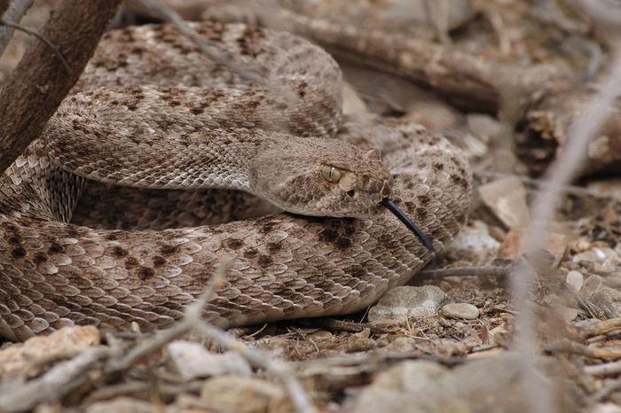 Rattlesnake in the bush. Desert Snake Animals In The Wild Close-up Nature Rattlesnakes Southwest  Venemous