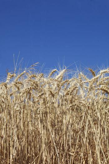 Wheat field against clear blue sky