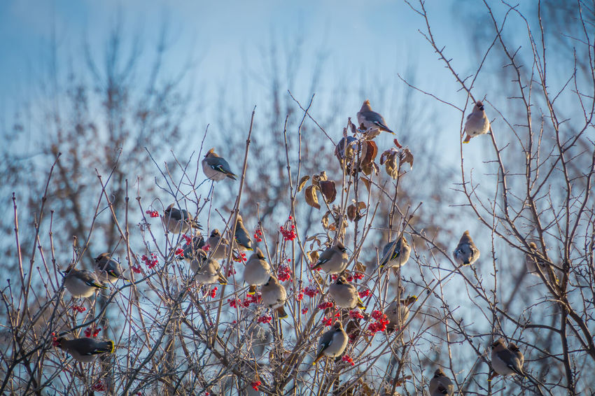 Animal Animal Themes Animal Wildlife Animals In The Wild Beauty In Nature Bird Branch Cherry Blossom Day Flower Flowering Plant Focus On Foreground Group Of Animals Growth Low Angle View Nature No People Outdoors Perching Plant Springtime Tree Vertebrate Waxwing Waxwings