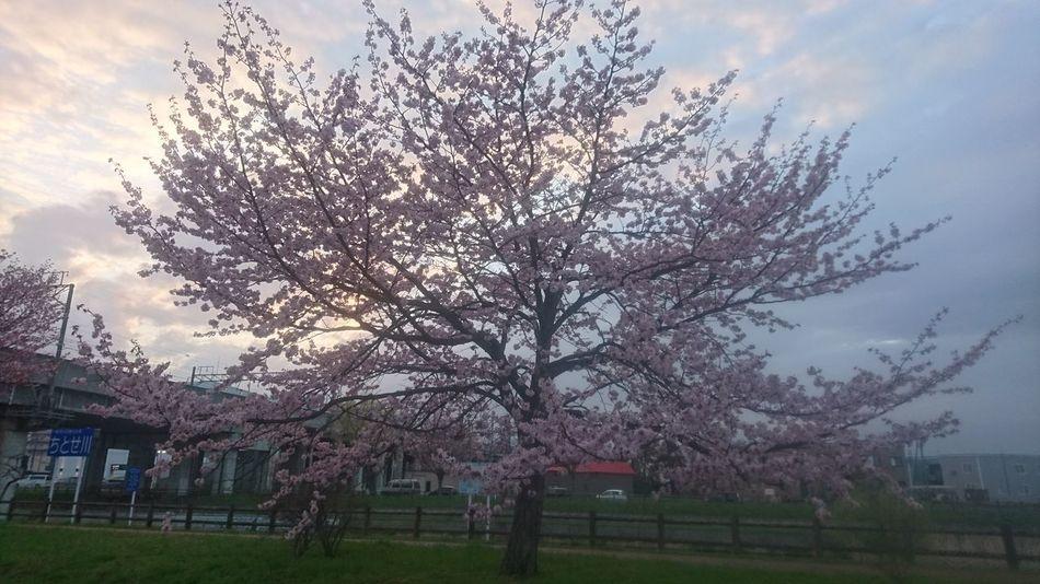 桜の木 無加工 満開 千歳市にて