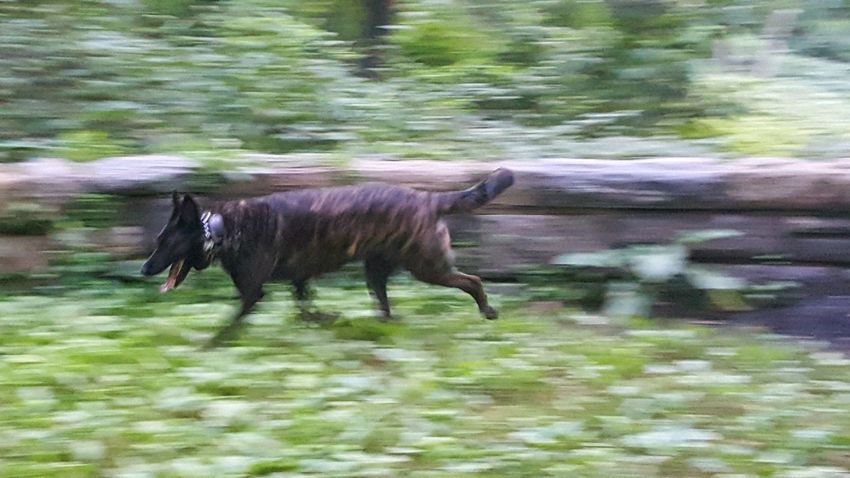 Dog Running Dog Brindle Dog Brindle Moving Fast Dog Outside Dutch Shepherd NYC Parks Brooklyn Nyc Running Early Morning Hidden Places