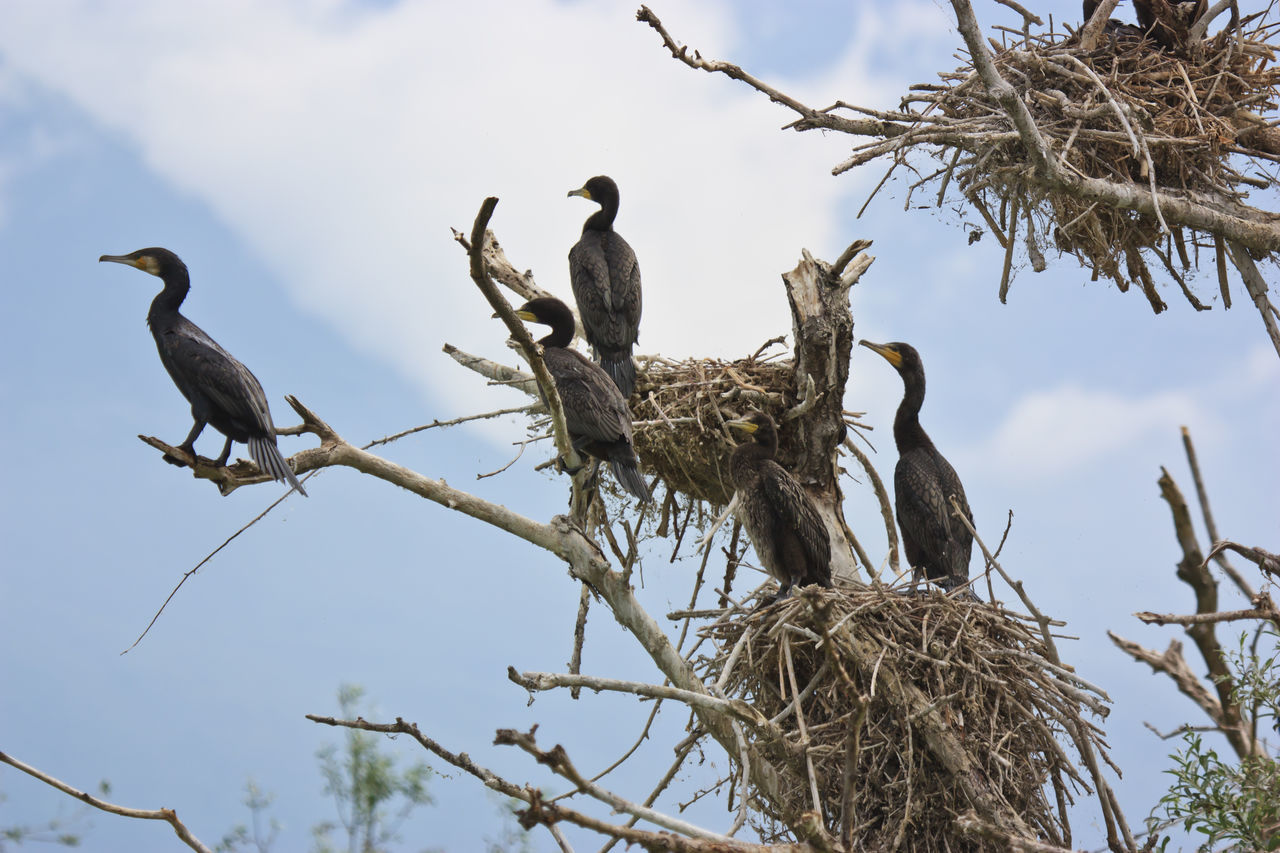 Low Angle View Of Cormorants On Bare Tree Against Sky
