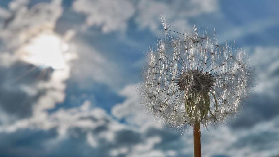 https://youtu.be/SxGLPVvNjvY Flower Dandelion Plant Flowering Plant Fragility Nature Sky Cloud - Sky Vulnerability  Beauty In Nature No People Freshness Uncultivated Plant Stem Outdoors Day Close-up Softness Blue Flower Head Dandelion Seed Springtime