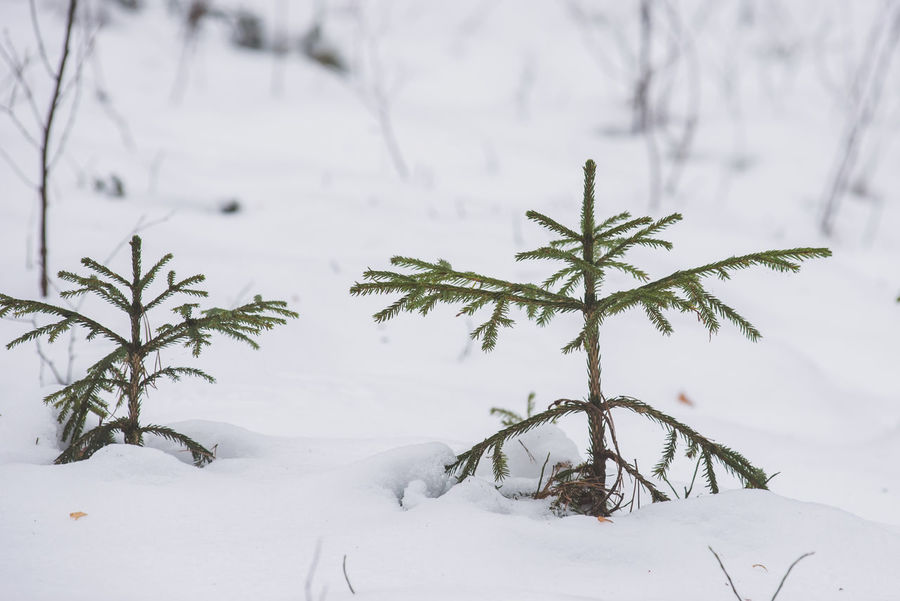 Two young spruce trees in forest, with snow covered ground. Family Fresh Air Spruce Tree Beauty In Nature Branch Cold Temperature Frozen Growth Landscape Nature No People Outdoors Plant Scenics Small Trees Snow Spruce Trees Together Togetherness Tree Weather White Color Winter Young Spruce