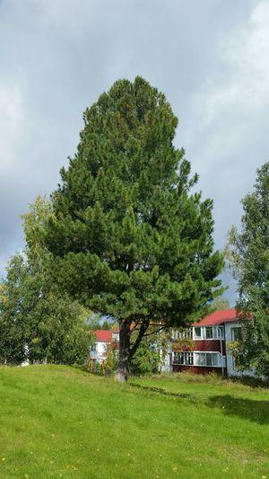 кедр дерево Природа мойгород сибирь Tree Nature My Town Siberia Nature Siberia