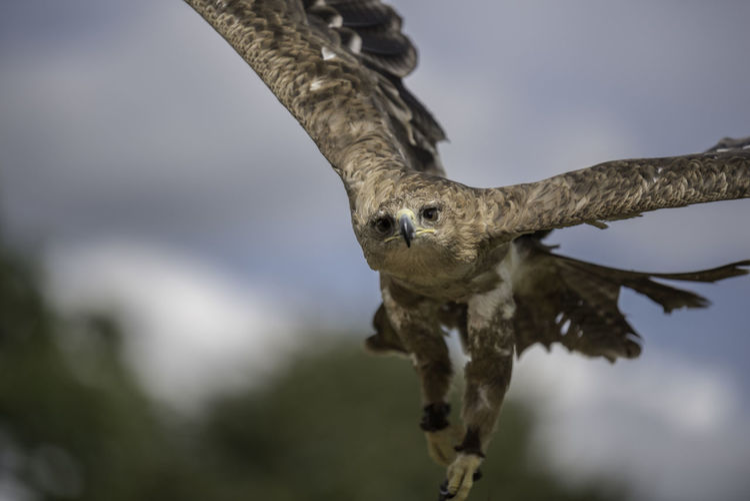 Eagle in take off, just before hitting me in the head Bird Photography Birds Of EyeEm  Eagle Raptor Bird Bird Of Prey Birds Birds_collection Eagle - Bird Flight Flying Flying Bird