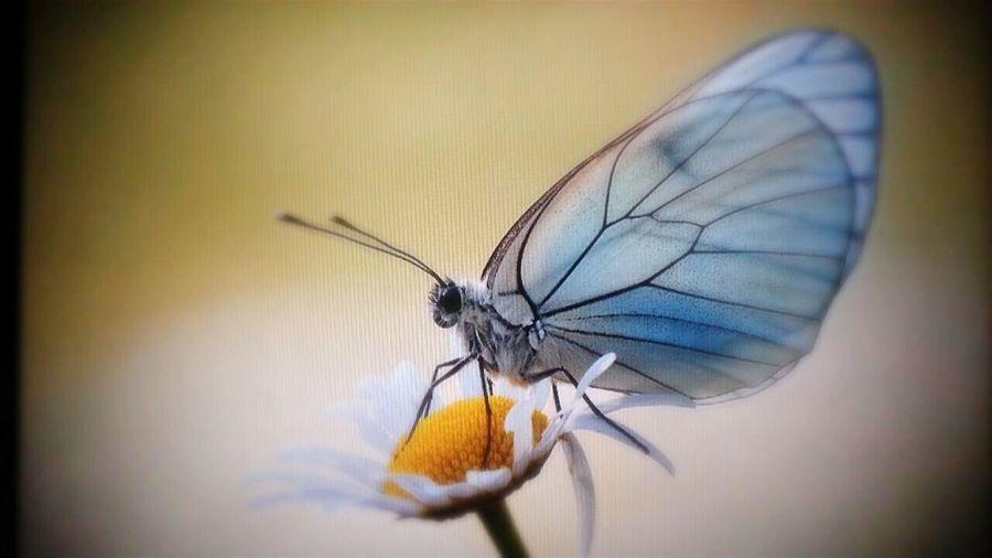 Animals Q Querschleife Butterfly European Butterfly Macro Photography