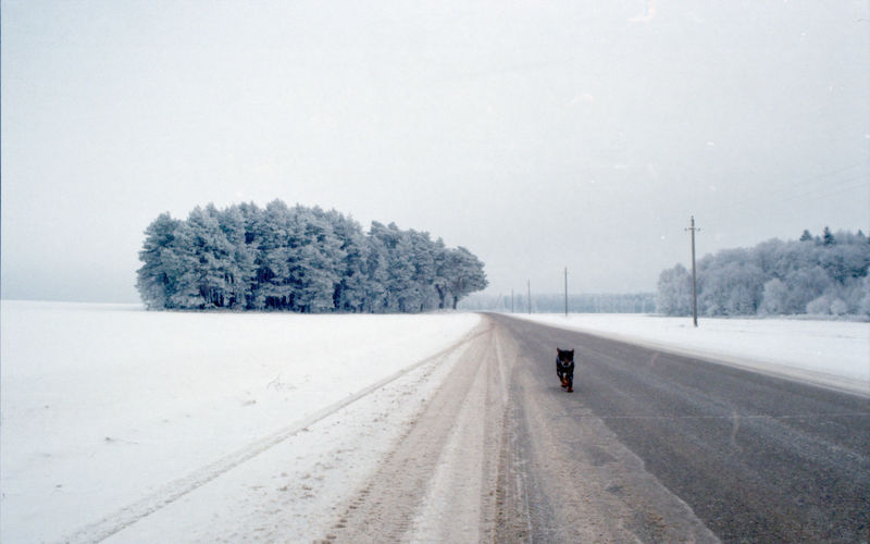 Dog running along snow covered road along trees