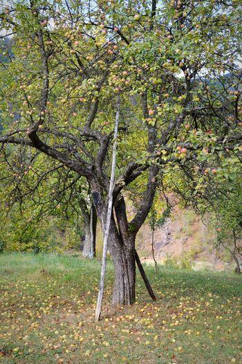 Apple tree in