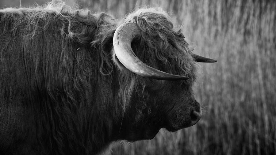 Close-up of a bull