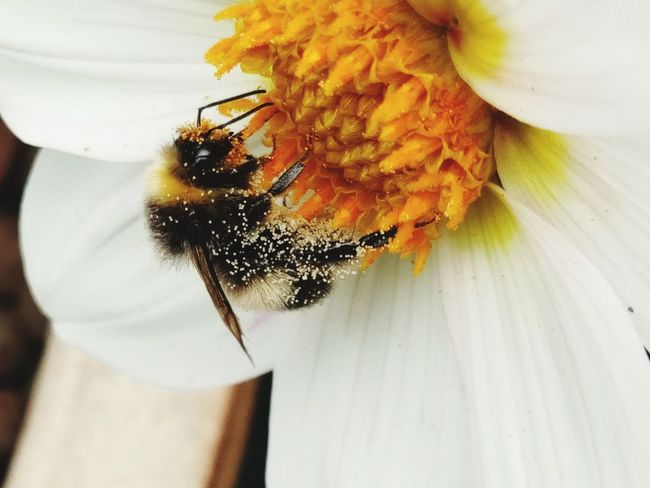 Beauty In Nature Bee Bumblebee Insect HTC HTCOneX HTC_photography Htc10 Flower Close-up Petal Flower Head Fragility Freshness Nature No People Day Beauty In Nature Indoors