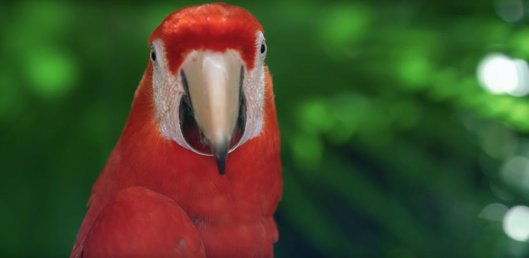 Bird Animal Red