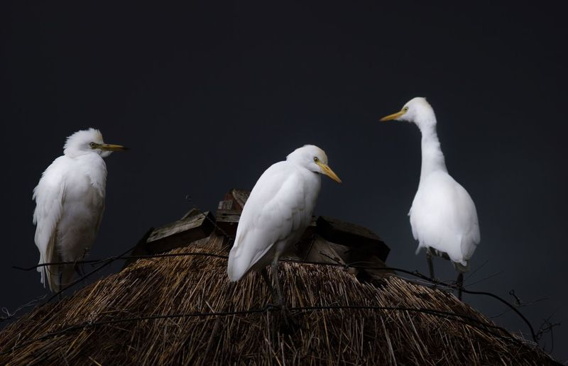 Low Angle View Of Great Egrets Perching On Thatched Roof At Night