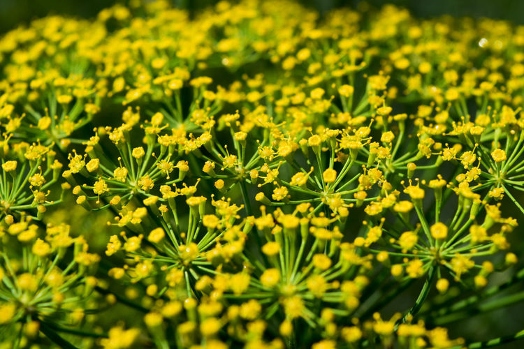 Dill Macro Beauty Beauty In Nature Close-up Day Flower Freshness Full Frame Growth Macro Nature No People Outdoors Plant Sunlight Yellow
