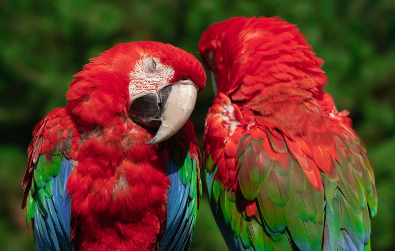 Parrots at Blåvand Zoo. Bird Close-up Day No People Parrot Red Two Animals Zoology