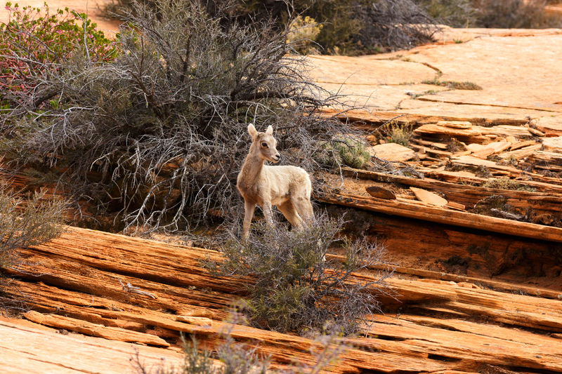 baby of the desert Bighorn Lamb Desert Bighorn Sheep Lamb Bighorn Sheep Canyon Desert Animal Wildlife Animal Themes Animals In The Wild Zion National Park Animal Southern Utah  Utah Parks And Recreation Nature Sandstone Baby Animals No People Outdoors One Animal