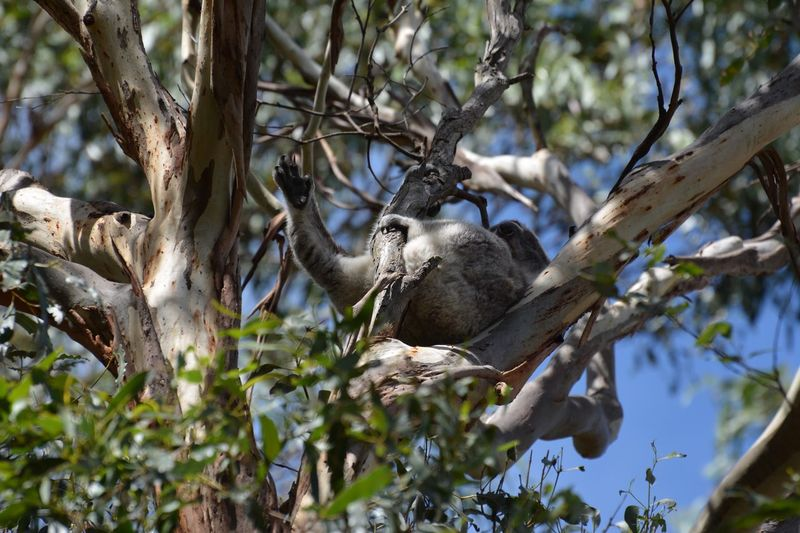 Reclining Koala Koala Koala In Tree Tree Plant Animals In The Wild Branch Animal Themes Animal Animal Wildlife Growth Leaf Plant Part Day Beauty In Nature Outdoors Mammal Low Angle View No People Nature One Animal Vertebrate