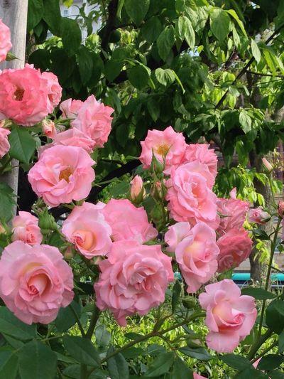 Flower 薔薇 天王寺公園 リバプール エコー