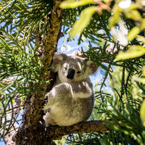 Low angle view of koala sitting on tree in magnetic island