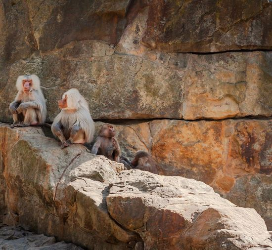 Monkeys posing Monkey Cute Solid Rock Animal Themes Animal Rock - Object Group Of Animals Sunlight Rock Formation Outdoors Zoo Relaxation