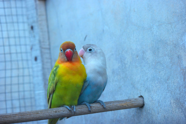 Love Birds Bird