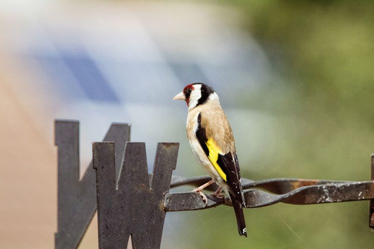 Close-Up Of European Goldfinch Perching On Metallic Weather Vane