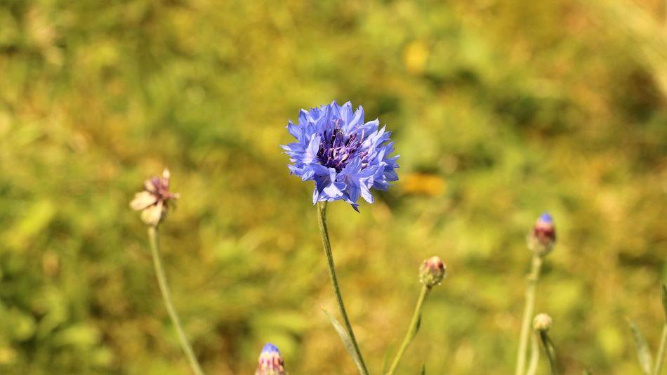 Die letzte Kornblume. Sie ging, den Weg zu kürzen, übers Feld. Es war gemäht. Die Ähren eingefahren. Die braunen Stoppeln stachen in die Luft, Als hätte sich der Erdgott schlecht rasiert. Sie ging und ging. Und plötzlich traf sie Auf die letzte blaue Blume dieses Sommers. Sie sah die Blume an. Die Blume sie. Und beide dachten (Sofern die Menschen denken können, dachte die Blume...) Dachten ganz das gleiche: Du bist die letzte Blüte dieses Sommers, Du blühst, von lauter totem Gras umgeben. Dich hat der Sensenmann verschont, Damit ein letzter lauer Blütenduft Über die abgestorbene Erde wehe – Sie bückte sich. Und brach die blaue Blume. Sie rupfte alle Blütenblätter einzeln: Er liebt mich – liebt mich nicht – er liebt mich... nicht. – Die blauen Blütenfetzen flatterten Wie Himmelsfetzen über braune Stoppeln. Ihr Auge glänzte feucht – vom Abendtau, Der kühl und silbern auf die Felder fiel Wie aus des Mondes Silberhorn geschüttet. (Klabund) Beautiful Nature Beauty In Nature EyeEm Nature Lover For My Friends That Connect Fragility Freshness Garden Flowers Garden Photography In The Fields Ladyphotographerofthemonth Mother Nature My Garden Is A Wonderland Nature On Your Doorstep Nature Photography Naturelovers Natures Diversities The Essence Of Summer Wald- Und Wiesenblumen Wildflower Wildflowers