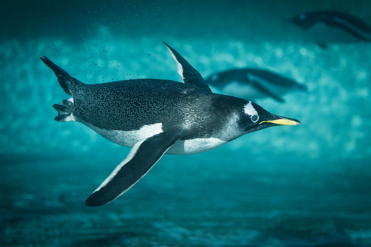 Gentoo penguins swimming in sea