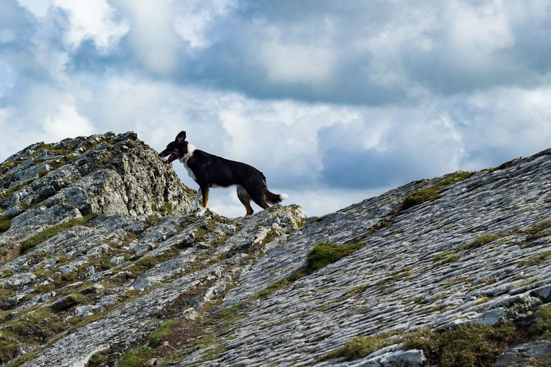 Border Collie Mountain Top Cloud - Sky Rock - Object One Animal Animal Themes Sky Pets Mammal Domestic Animals Dog Day Outdoors Low Angle View No People Nature Standing Mountain Climbing The Week On EyeEm