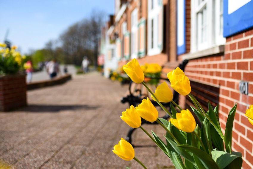 Spring Urban Spring Fever Tulips