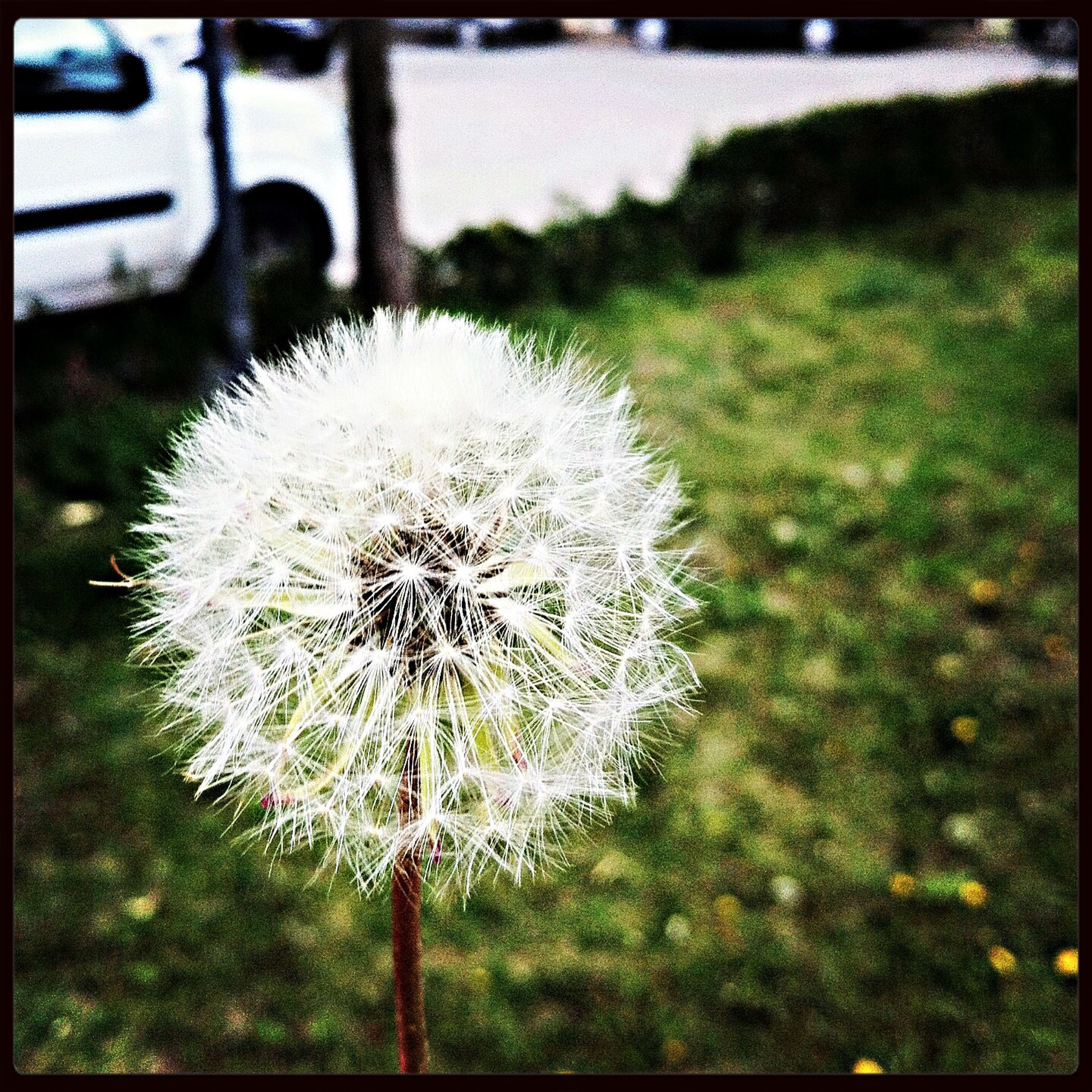 flower, dandelion, growth, fragility, freshness, flower head, nature, beauty in nature, focus on foreground, transfer print, close-up, single flower, plant, white color, auto post production filter, in bloom, stem, blooming, day, wildflower