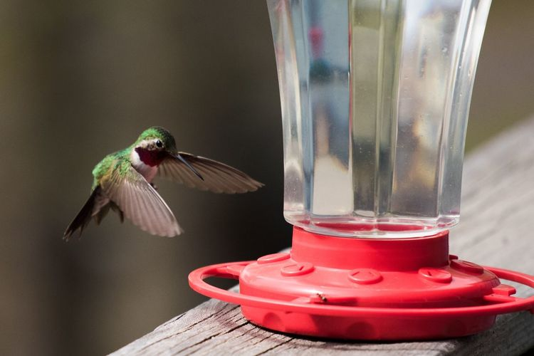 Animal Animal Themes Bird One Animal Vertebrate Animal Wildlife Red Animals In The Wild No People Hummingbird Bird Feeder Day Indoors  Close-up Glass - Material Nature Focus On Foreground Table
