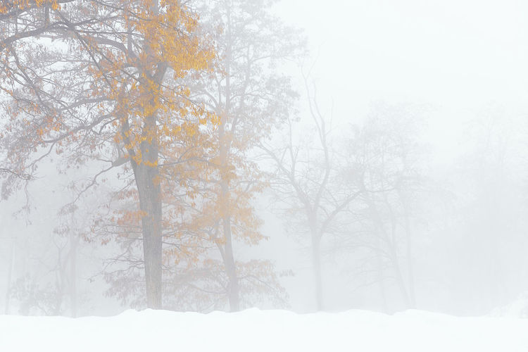 Nature Fog Tree Snow Branch Cold Temperature Winter Bare Tree Forest Spruce Tree Tree Area Foggy Blizzard Snow Covered Cold White