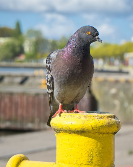 Bird Animal Animal Themes Animals In The Wild Animal Wildlife Focus On Foreground Day One Animal Close-up Nature No People Pigeon Taube Dove Tier Vogel Sunny Bollard