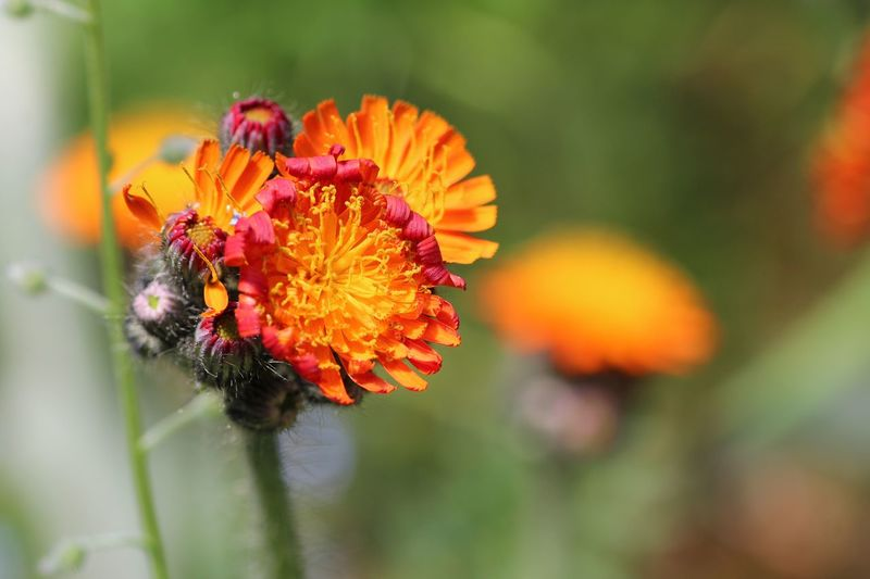 Beautiful Garden Flowering Plant Flower Fragility Vulnerability  Beauty In Nature Freshness Flower Head Petal Close-up Growth Focus On Foreground Inflorescence Plant No People Day Pollen Orange Color Nature Insect Zinnia