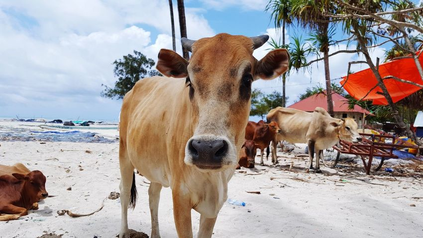 Cows Close-up Paradise Animalpersonality Personality  Beach Expression Farm EyeEmNewHere Travel Africa EyeEm Selects Beach Domestic Animals Sand Cloud - Sky Sky Animal Themes Mammal Outdoors Nature