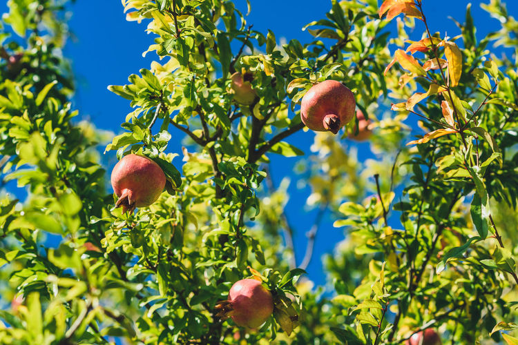 Low angle view of apples on tree