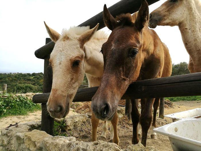 potros curiosos Horse Caballos Potro Animal Themes Paddock Horse Herbivorous Working Animal Horseback Riding Animal Head