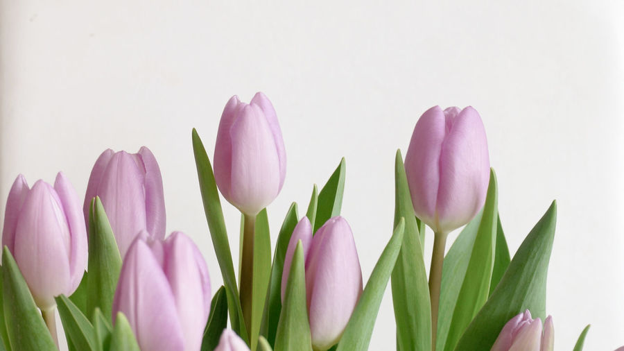 Close-up of pink tulips against white wall